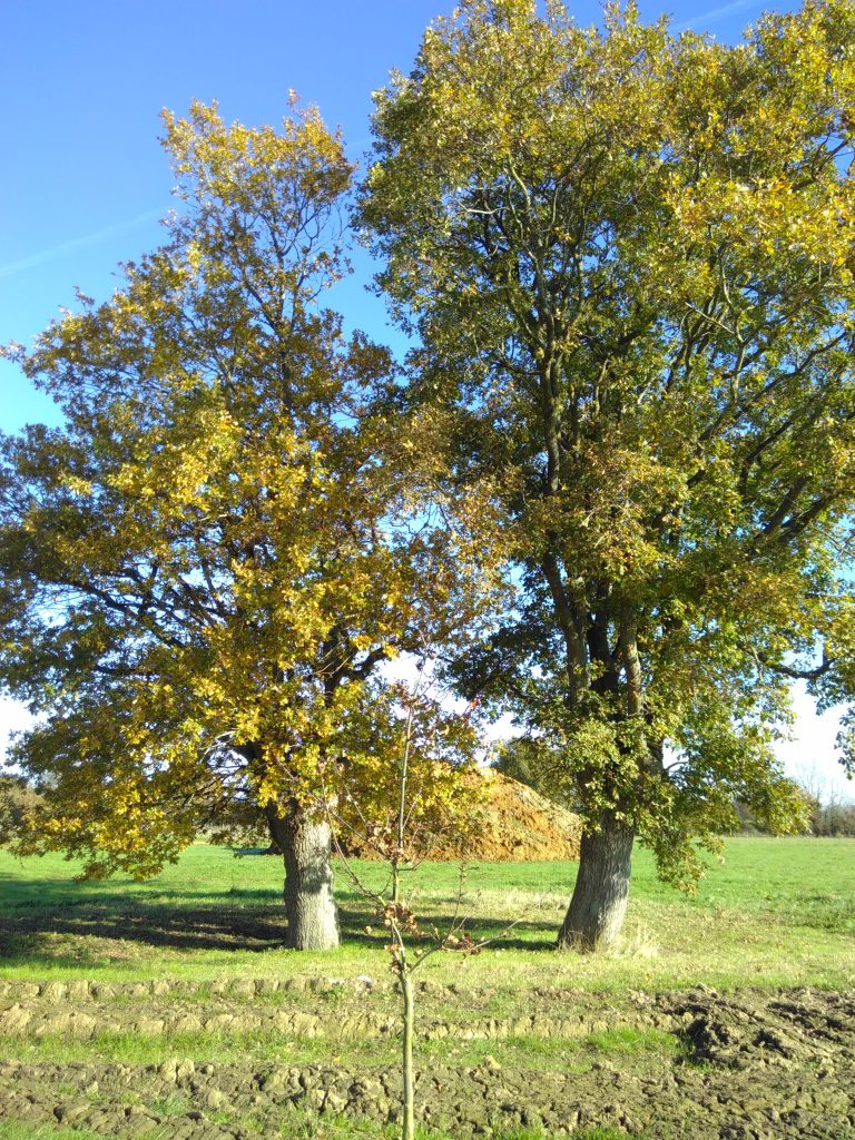 Four Oak Wood at The Big Raise