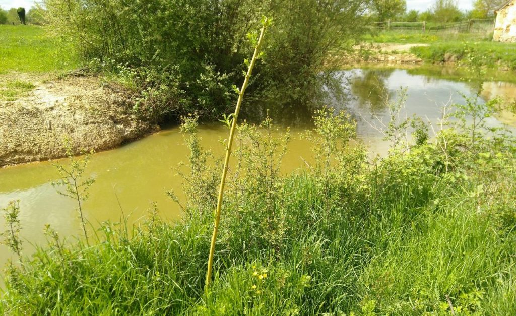 A young weeping willow planted by the canal