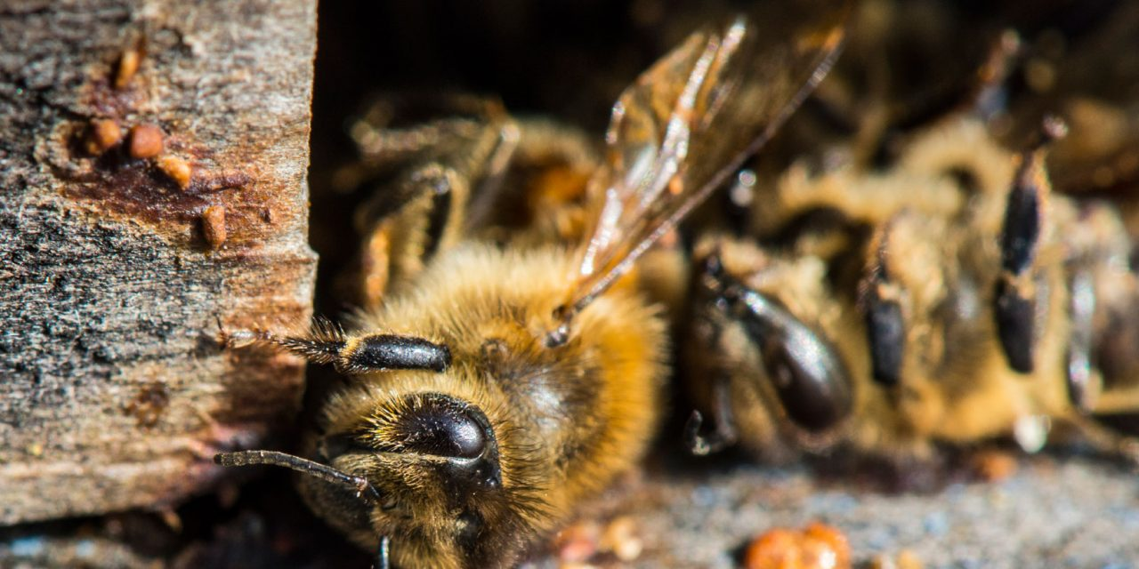 Bee-killing neonicotinoids to be banned across Europe