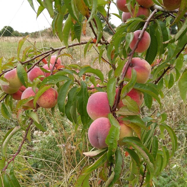 Peach tree in our field